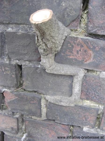 Besonders der nördliche Stiegenhausturm zeigte starken Bewuchs, der den Ziegelverband zerstört hat. Der Helmbereich muss hier abgetragen werden. (Foto: Baier)